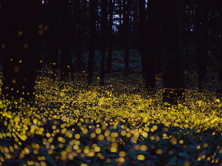 Evanescent Beauty of HOTARU (Firefly)