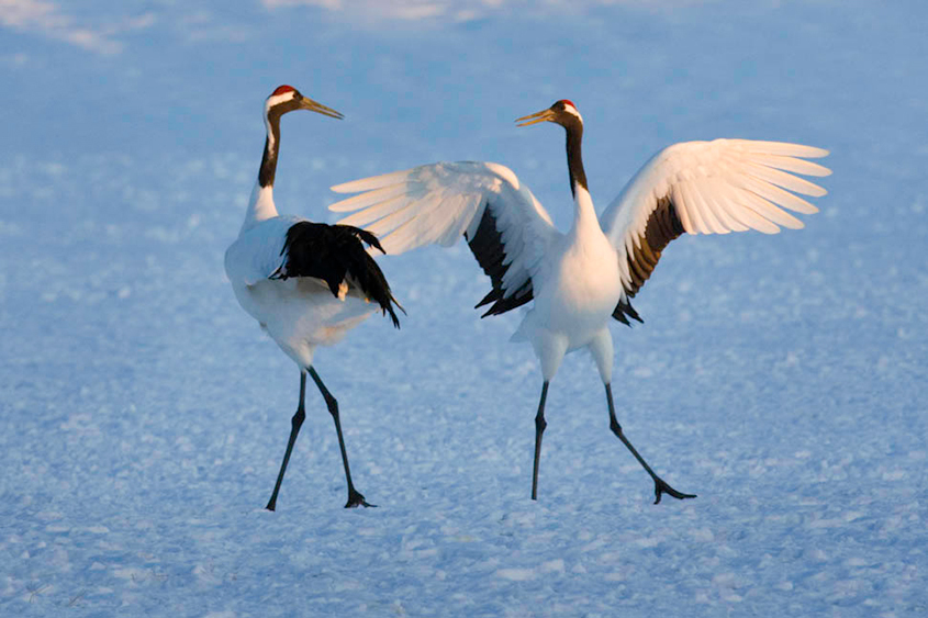Japanese Cranes A Symbol Of Love And Long Life Nice Japan