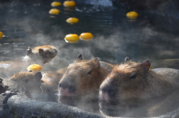 Capybara Hot springs