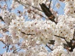 Sakura season has arrived!!!