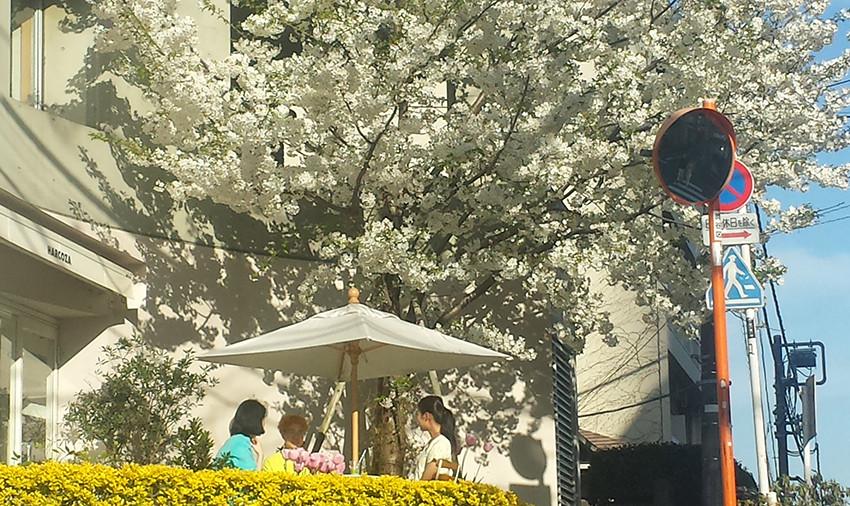 SAKURA – Japanese Cheerry Blossom