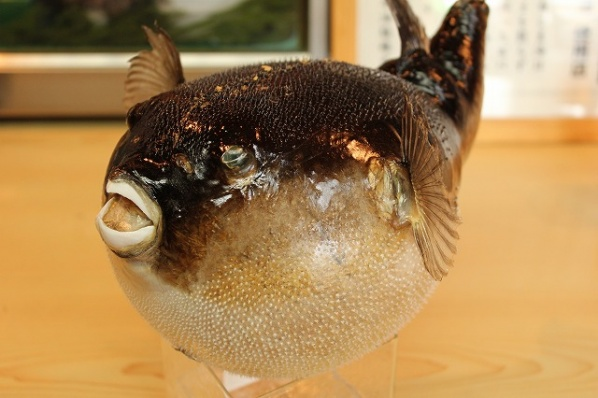 Puffer Fish – Mysterious and Deadly