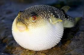 fugu2