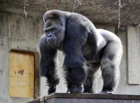 Going Ape over Shabani the Gorilla