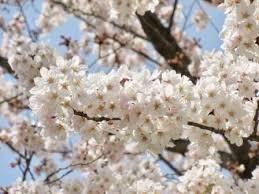 Sakura season has arrived!!!